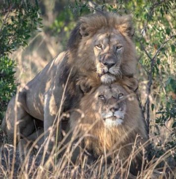 Gay Lions Spotted At Masai Mara